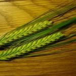 Barley spikes (Hordeum vulgare L.)