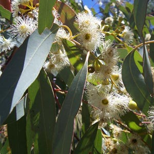 Eucalyptus300x300