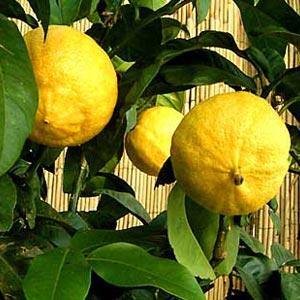 citrus_bergamia300x300