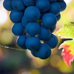 grape3-org300x300