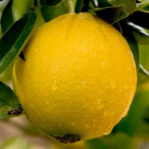 grapefruit-medium300x300