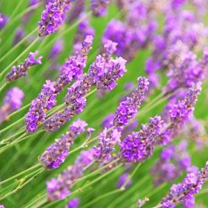 lavender1-org300x300