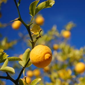 lemon-tree-org300x300