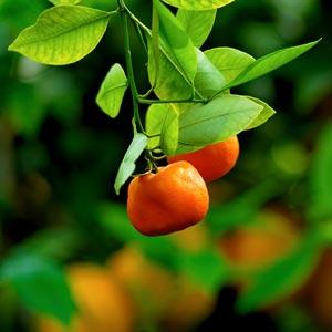 mandarin-tree-org300x300