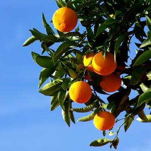 orange-tree-small300x300