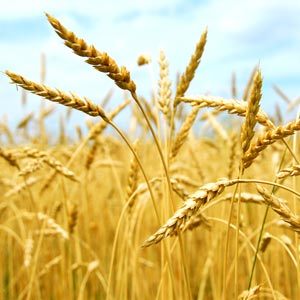 wheat6-org300x300