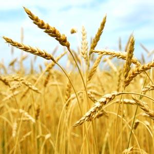 wheat6-org300x300